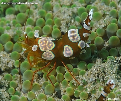 Bold-spotted Anemone Shrimp, Thor amboinensis