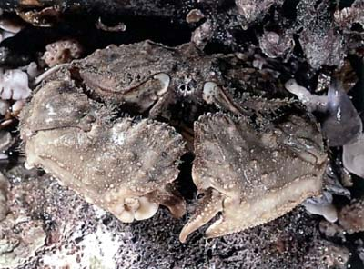 Common Box Crab (Calappa hepatica)