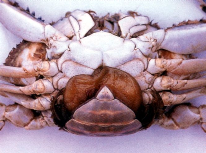 Sand Crab Sacculina, Sacculina granifera, protruding from underside of crab