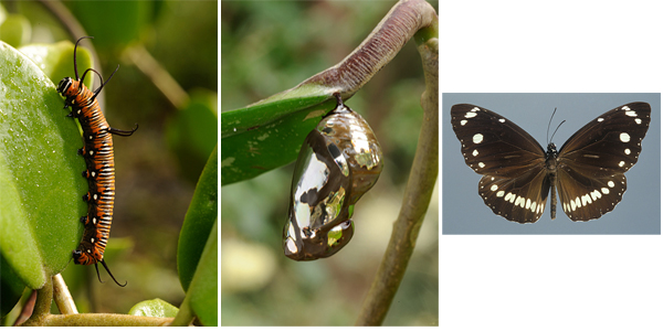 Common Crow, Euploea core
