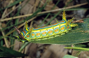 The caterpillar of a species of Calcarifiera that feeds on wattles (Acacia spp.).