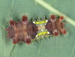 The larva of Doratifera vulnerans with its clusters of stinging spines expanded.