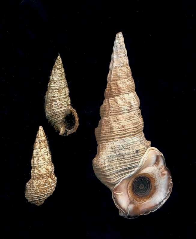 Hercules Club Mud Whelk (Pyrazus ebeninus) (at right); Australian Mud Whelk (Batillaria australis) (at left)