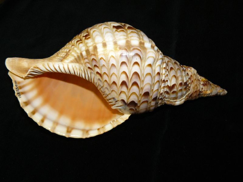 Giant Triton (Charonia tritonis), shell of the Giant Triton, specimen from the Queensland Museum Collection