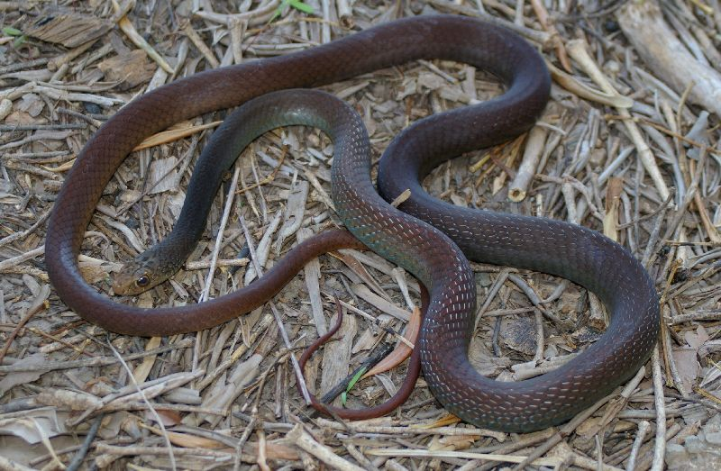 Papuan Whip Snake (Demansia papuensis)