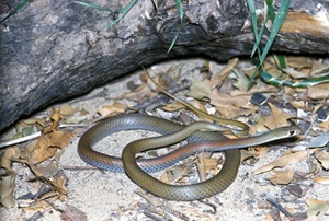 Yellow-faced Whip Snake (Demansia psammophis)