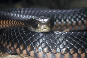 Red-bellied Black Snake (Pseudechis porphyriacus)