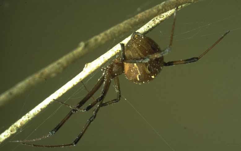 Brown Widow Spider, Theridiidae, Latrodectus geometricus, female