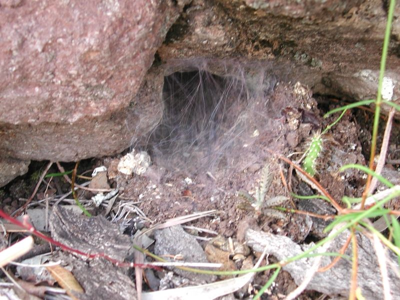 North Queensland Tarantula, Theraphosidae, Phlogius crassipes,  silked up burrow entrance