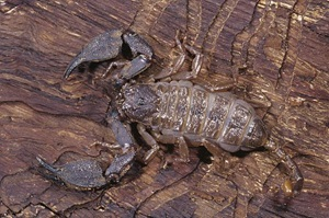 Rainforest Scorpion, Liocheles waigiensis