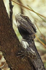 The Bearded Dragon (Pogona barbata)