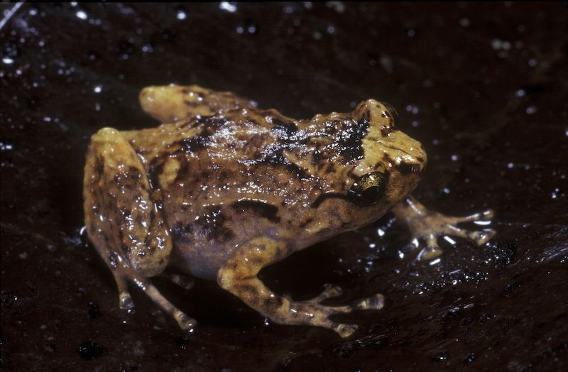 Common Nursery Frog