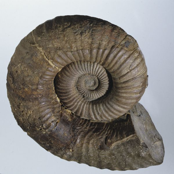 Tropaeum sp. a Cretaceous ammonite from north Queensland
