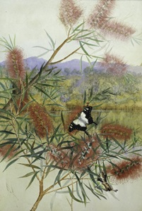 Watercolour and gouache painting by Ellis Rowan of Weeping Bottlebrush, Callistemon viminalis, with Macleay's Swallowtail Butterflies, 1891.
