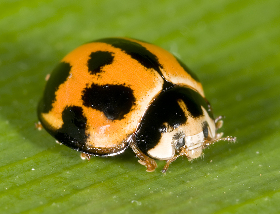 Adult Variable Lady Beetle Coelophora inaequalis (Coccinellidae)