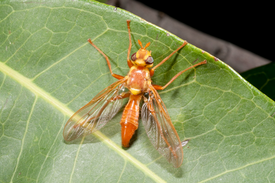 The wasp mimicking Adapsilia illingworthana (Family Pyrgotidae)