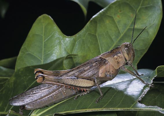 Hedge Grasshopper, Valanga irregularis (Acrididae)