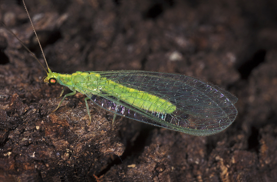 Green Lacewing (Mallada traviata)