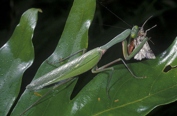 Mantid eating a moth